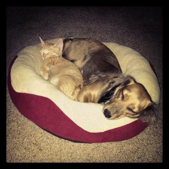 kitten and dachshund best friends