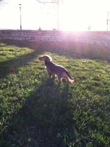 small-wonders-dachshund