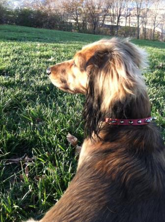 dachshund-in-sunshine