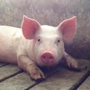 piglet in nursery